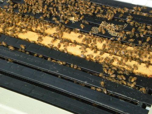 Beehive May 2009 004